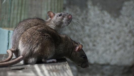eco-roma-disinfestazioni-ratti