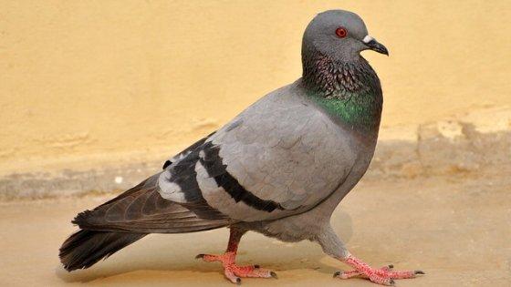 eco-roma-disinfestazioni-allontanamento-volatili-piccione
