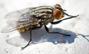 Disinfestazione mosche e moscerini